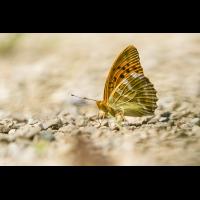 DSC00271.b.kl.Argynnis paphia - Kaisermantel.jpg (frank.m)