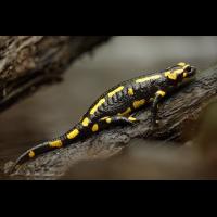 Salamander-krabbelt-an-Stock-aus-Wasser-(Salamandra-salamandra)gespiegelt.jpg (Christian Zieg)