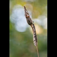 Ameisenjungfer-4406.jpg (Harald Esberger)