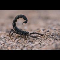 Skorpion-2.jpg (Harald Esberger)