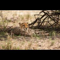 Gepard-9071.jpg (Harald Esberger)