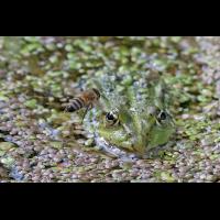 frosch_web1.jpg (KlausJ)
