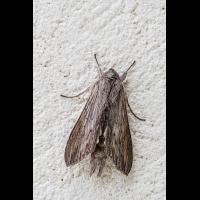 Nachtfalter_01Mai2020-1.jpg (fossilhunter)