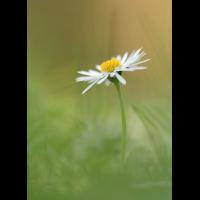 Ein Gänseblümchen.jpg (schaubinio)