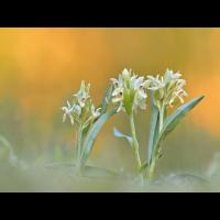 Dactylorhiza-sambucina1-EG006276.jpg (Otto G.)