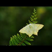 Ourapteryx-sambucaria-EG005779.jpg (Otto G.)