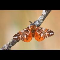 (Endromis--versicolora-EG237824---Kopie.jpg (Otto G.)