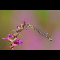 Lestes-viridis-OOG29783---Kopie.jpg (Otto G.)