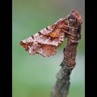 Selenia-tetralunaria-EG019234---Kopie.jpg (Otto G.)