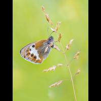 Coenonympha-EG003535---Kopie.jpg (Otto G.)
