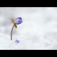 Hepatica-nobilis-OOG86009---Kopie.jpg (Otto G.)