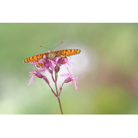 Melitaea-cinxia-OOG13849---Kopie.jpg (Otto G.)