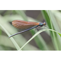 Calopteryx-virgo-OOG67194---Kopie.jpg (Otto G.)
