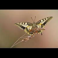 Papilio-machaon-oog42830_2---Kopie.jpg (Otto G.)