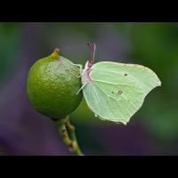 Gonepteryx-rhamni-OOG12975---Kopie.jpg (Otto G.)