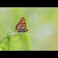 Hamearis-lucina-zoog22538_6---Kopie.jpg (Otto G.)