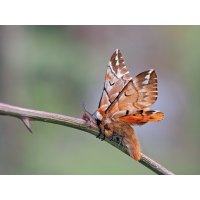 Endromis-versicolora-zoog37951_24---Kopie.jpg (Otto G.)