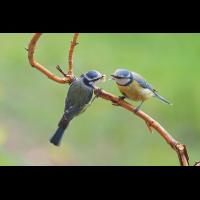 Parus-caeruleus-OOG53933---Kopie.jpg (Otto G.)