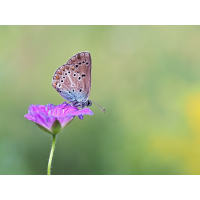 Aricia-eumedon-zoog34833_8---Kopie.jpg (Otto G.)