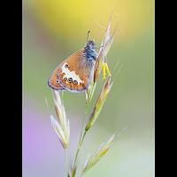 Coenonympha-arcania-zogg57148_12---Kopie.jpg (Otto G.)