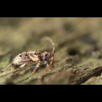Pogonocherus hispidus03makro.jpg (Ajott)