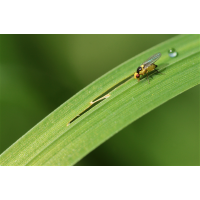 Liriomyza02makro.jpg (Ajott)