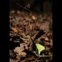 Gonepteryx rhamni 09.jpg (Ajott)