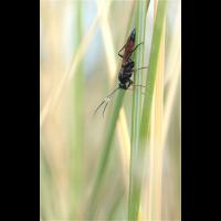 Ichneumonidae 3260x5095makro.jpg (Ajott)