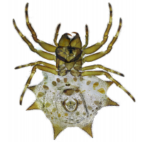 spinne-mf2.jpg (Sagittarius)