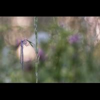 Platycnemis pennipes - Blaue Federlibelle (2).jpg (frank66)