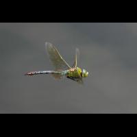 1 Anax imperator Weibchen Flug 3599web.jpg (Jürgen Fischer)