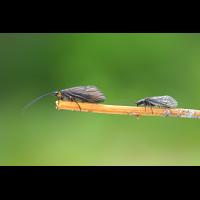 Brachycentrus montanus Köcherfliege --Schlammfliege Vergleich.jpg (Jürgen Fischer)