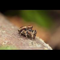 Sittisax saxicola weibchen.jpg (Jürgen Fischer)