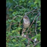 Sperbergrasmücke02.jpg (gepafoto)