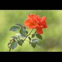 DSC05437 Good bye rose... kl.jpg (kabefa)