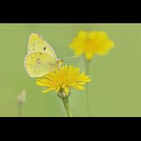 DSC07297 Gelb... gelber... Postillion... kl.jpg (kabefa)