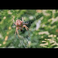 DSC08482 Spinne beim Mittagsmahl... kl.JPG (kabefa)