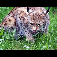 wildkatze2.jpg (nemo)