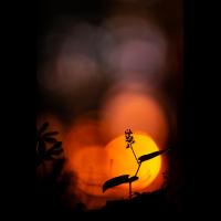 Zweiblättrige Schattenblume.jpg (MichaSauer)