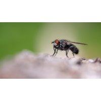 P5210030-1-Fliege frei-verkl.jpg (hawisa)