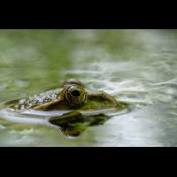 P6300118-1 -Frosch-verkl.jpg (hawisa)
