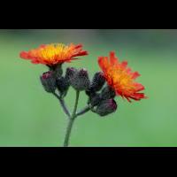 PA100354-1 - Orangerotes Habichtskraut-verkl.jpg (hawisa)