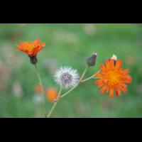 PA170402-1 - orangerotes Habichtskraut Samenstand.jpg (hawisa)