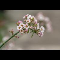 P4060359-1-Euphorbia xanthii -verkl.jpg (hawisa)
