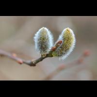 P3030268-1-Salix-caprea-Pendula-verkl.jpg (hawisa)