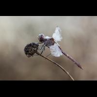 Heidelibelle (dirk)