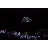 helmling forsurrel.jpg (mosofreund)