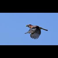 Eichelhäher im Flug mit Eichel.jpg (Makrohansi)