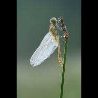 Sympetrum sanguineum 078301_1200.jpg (Qflieger)