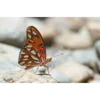 Agraulis vanillae 091497_1200.jpg (Qflieger)